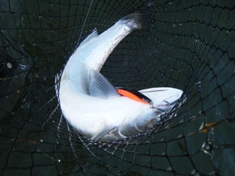 Meritaimenen kalastus Gotlantissa
