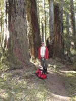 Suomalainen Tammi kalpeni Kanadan vastineen rinnalla 100-0. Jotkut puut olivat todella massiivisia. Yhdestä rungosta olisi veistellyt koko Äänekosken asukasluvulle tupakeittiö kalusteet. Kuva M.Kopsa (stamp river)